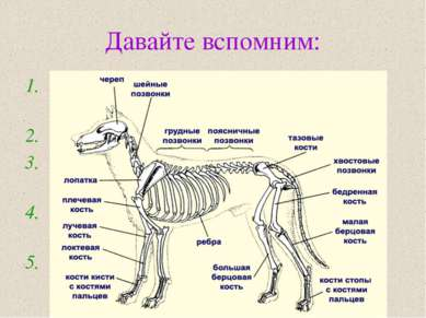 Давайте вспомним: Какие виды скелета у животных вам известны? Назовите отделы...