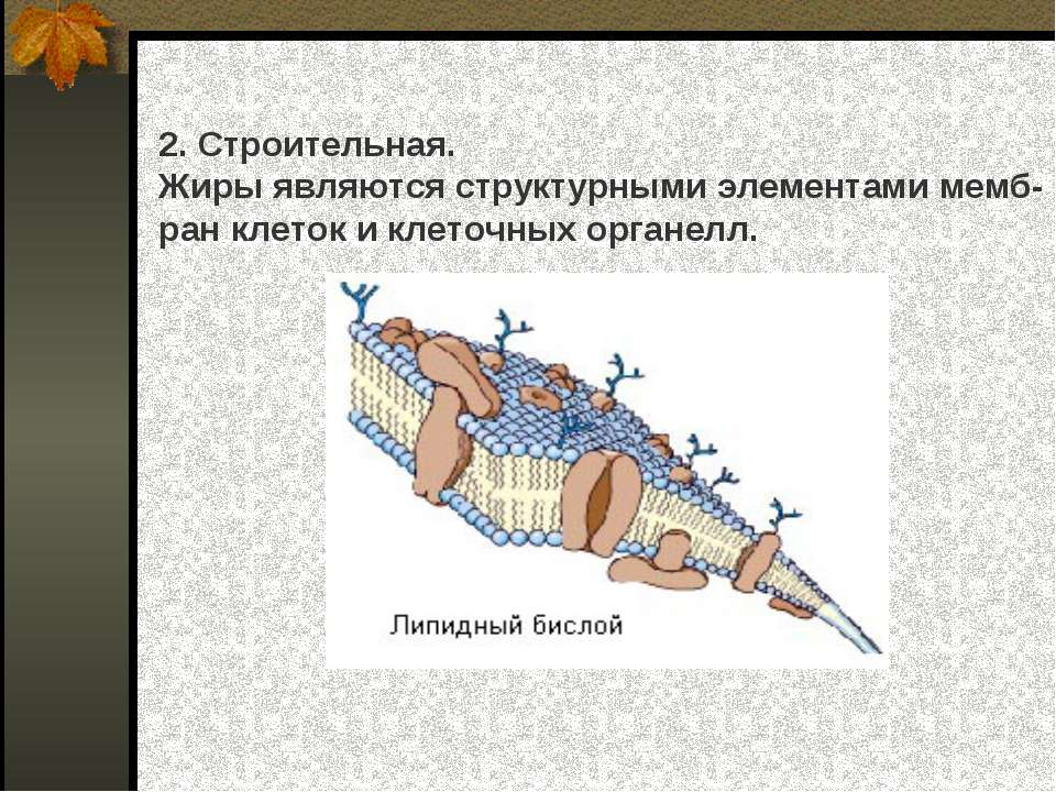 2. Строительная. Жиры являются структурными элементами мемб- ран клеток и кле...