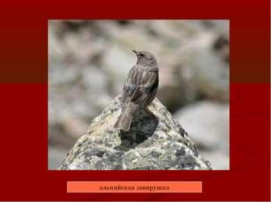 альпийская завирушка