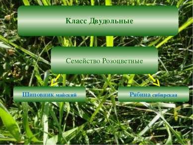 Класс Двудольные Семейство Розоцветные Шиповник майский Рябина сибирская