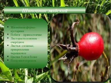 Шиповник майский Жизненная форма-кустарник Побеги – прямостоячие Листорасполо...