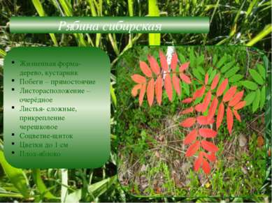 Рябина сибирская Жизненная форма-дерево, кустарник Побеги – прямостоячие Лист...