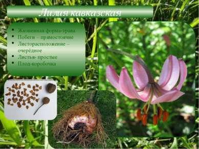 Лилия кавказская Жизненная форма-трава Побеги – прямостоячие Листорасположени...