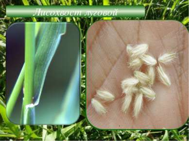 Лисохвост луговой Жизненная форма-трава Побеги – прямостоячие Листорасположен...