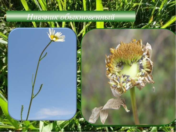 Нивяник обыкновенный Жизненная форма-трава Листорасположение –очерёдное Листь...