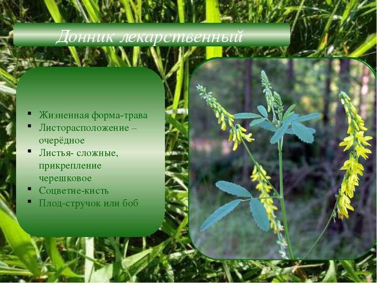 Донник лекарственный Жизненная форма-трава Листорасположение –очерёдное Листь...