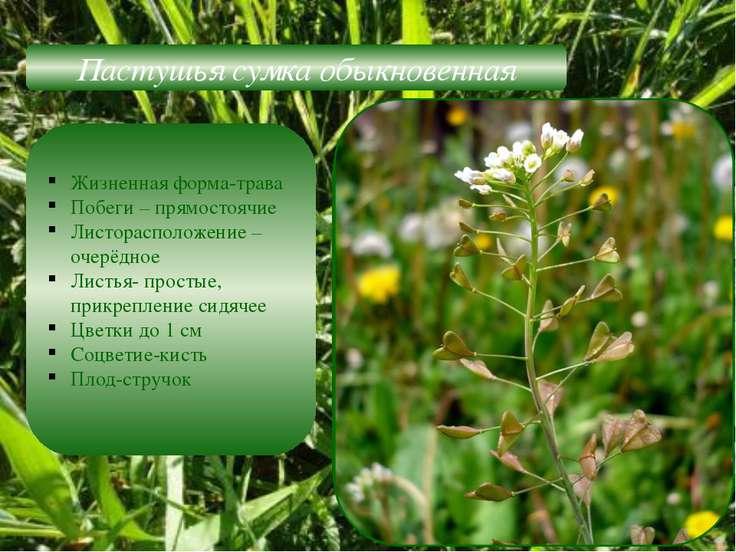 Пастушья сумка обыкновенная Жизненная форма-трава Побеги – прямостоячие Листо...