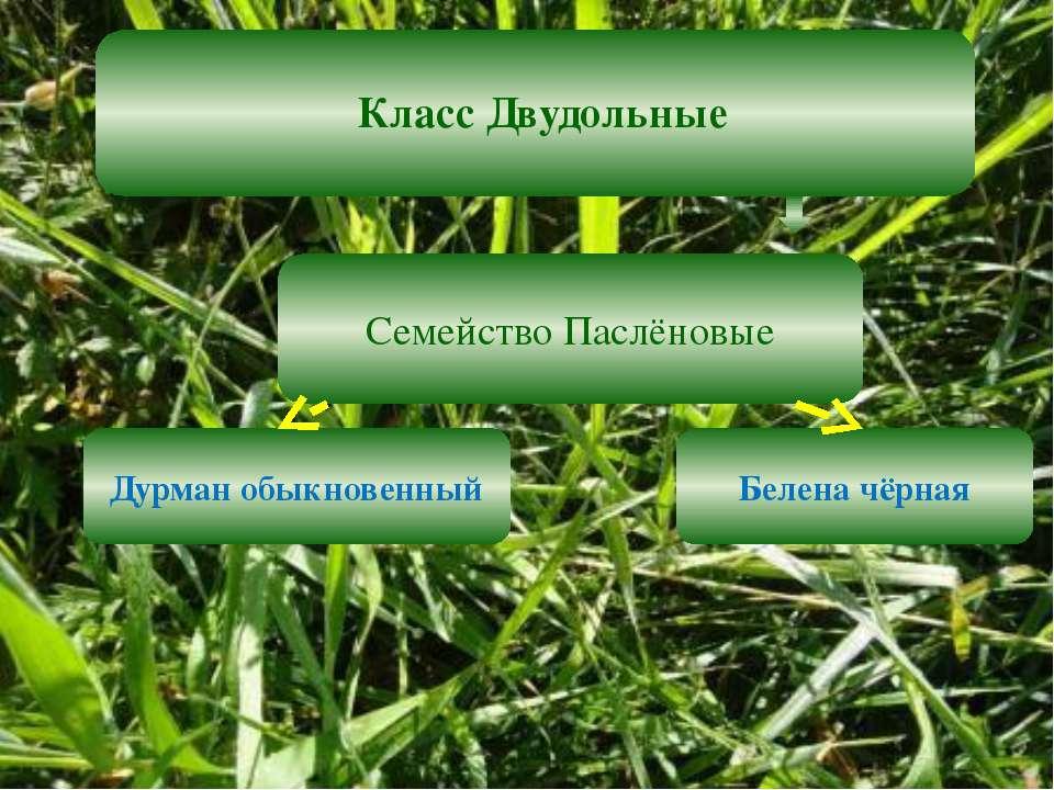 Класс Двудольные Семейство Паслёновые Дурман обыкновенный Белена чёрная