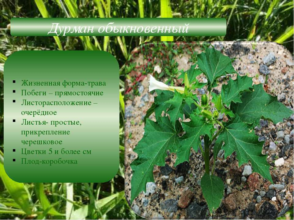 Дурман обыкновенный Жизненная форма-трава Побеги – прямостоячие Листорасполож...