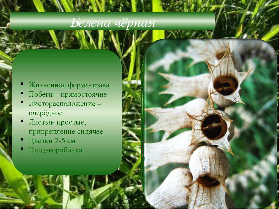 Белена чёрная Жизненная форма-трава Побеги – прямостоячие Листорасположение –...