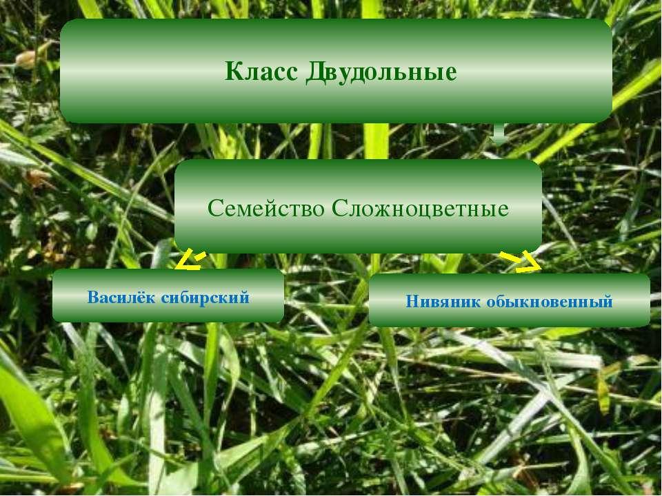 Класс Двудольные Семейство Сложноцветные Василёк сибирский Нивяник обыкновенный