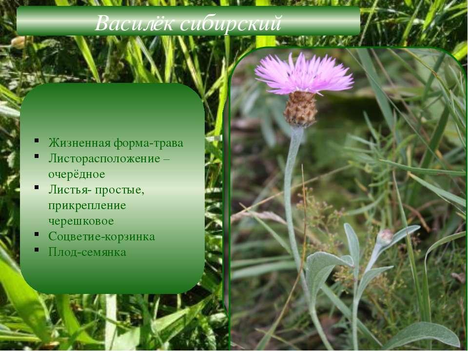 Василёк сибирский Жизненная форма-трава Листорасположение –очерёдное Листья- ...