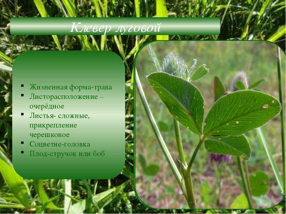 Клевер луговой Жизненная форма-трава Листорасположение –очерёдное Листья- сло...