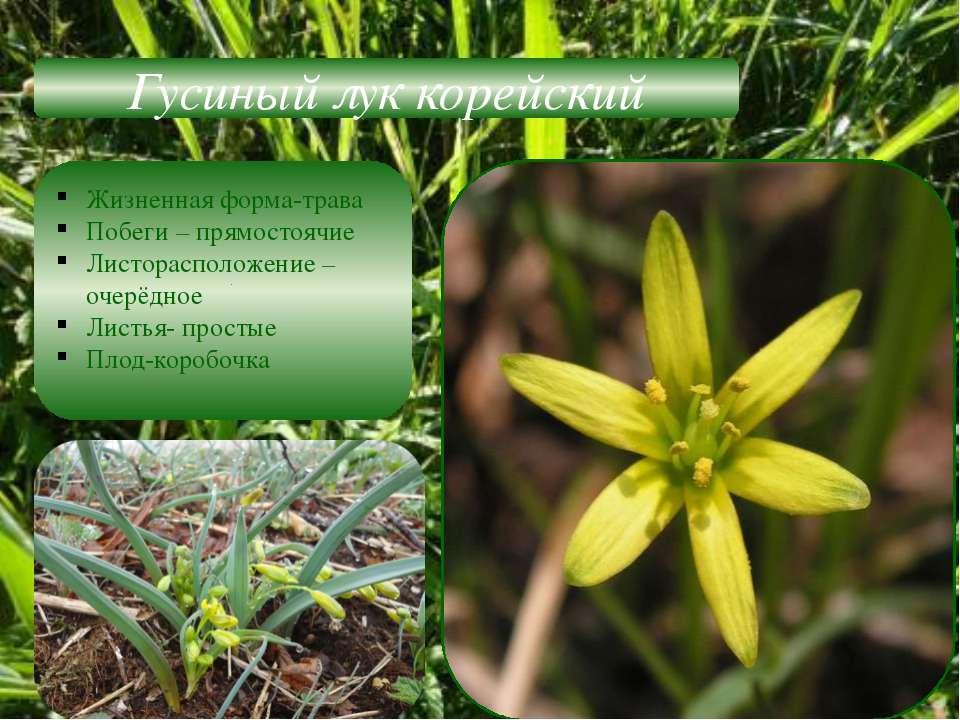 Гусиный лук корейский Жизненная форма-трава Побеги – прямостоячие Листораспол...