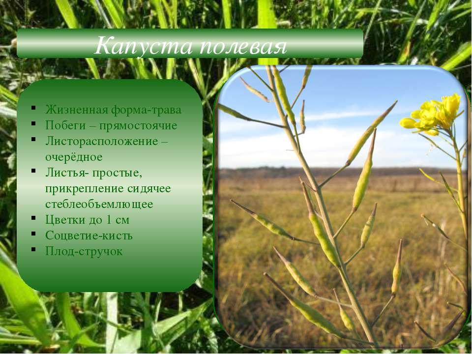 Капуста полевая Жизненная форма-трава Побеги – прямостоячие Листорасположение...