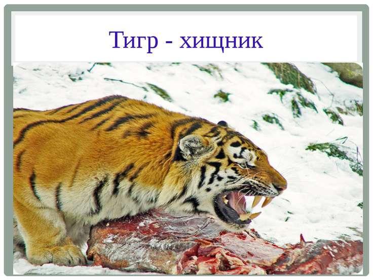Тигр - хищник