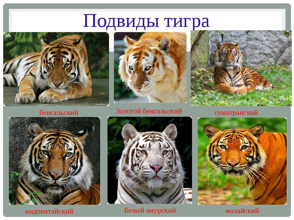 tiger subspecies Endangered tigers facts on whether there are any remaining south china tigers—nobody has seen one in years—there are either 5 or 6 tiger subspecies.