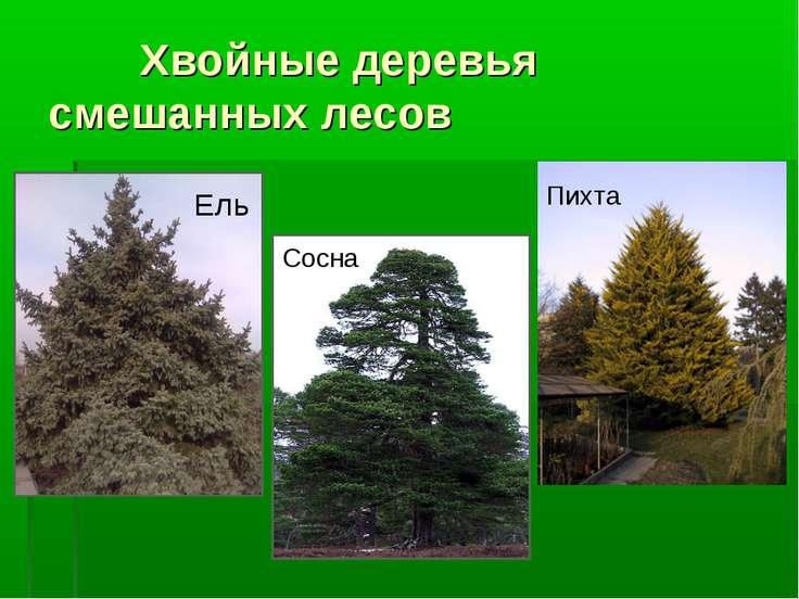 Хвойные деревья смешанных лесов Ель Сосна Пихта