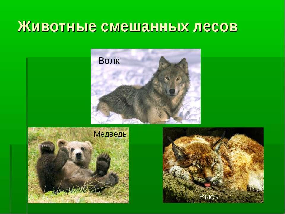 Животные смешанных лесов Волк Медведь Рысь