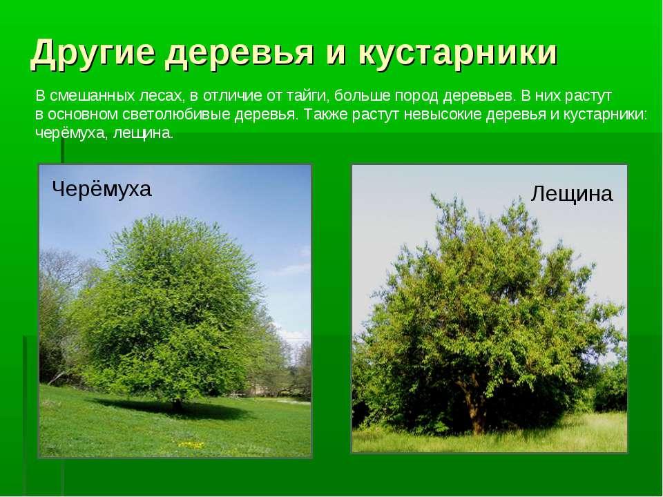 Другие деревья и кустарники Черёмуха Лещина В смешанных лесах, в отличие от т...