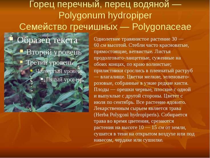 Горец перечный, перец водяной — Polygonum hydropiper Семейство гречишных — Po...
