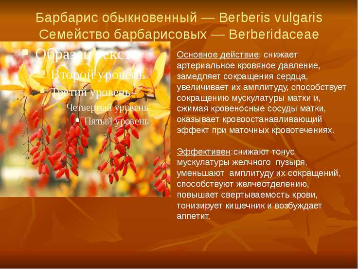 Барбарис обыкновенный — Berberis vulgaris Семейство барбарисовых — Berberidac...