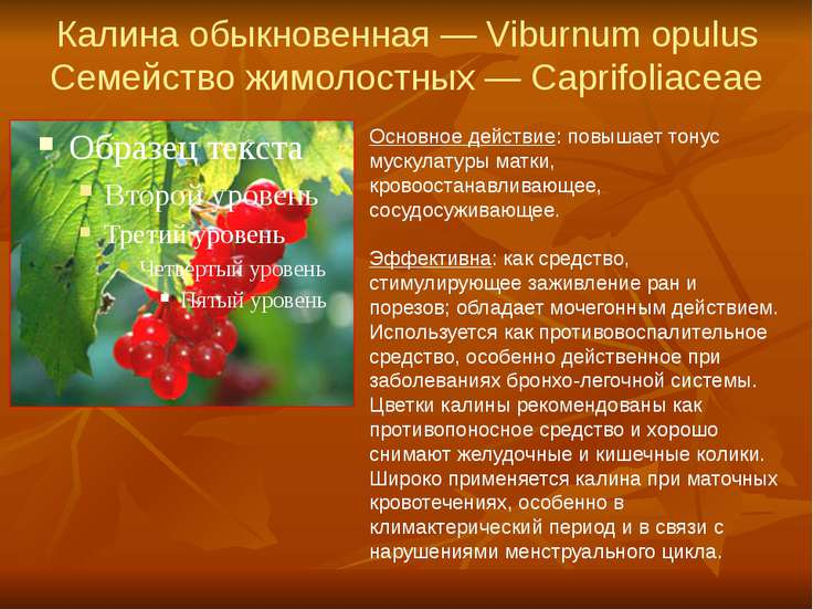 Калина обыкновенная — Viburnum opulus Семейство жимолостных — Caprifoliaceae ...