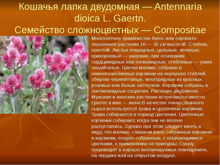 Кошачья лапка двудомная — Antennaria dioica L. Gaertn. Семейство сложноцветны...