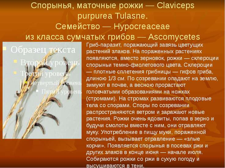 Спорынья, маточные рожки — Claviceps purpurea Tulasne. Семейство — Hypocreace...