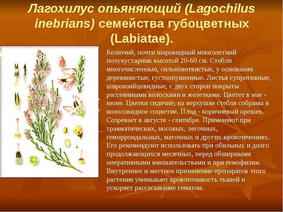 Лагохилус опьяняющий (Lagochilus inebrians) семейства губоцветных (Labiatae)....