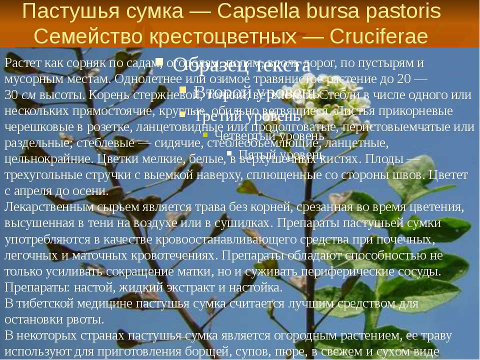 Пастушья сумка — Capsella bursa pastoris Семейство крестоцветных — Cruciferae...