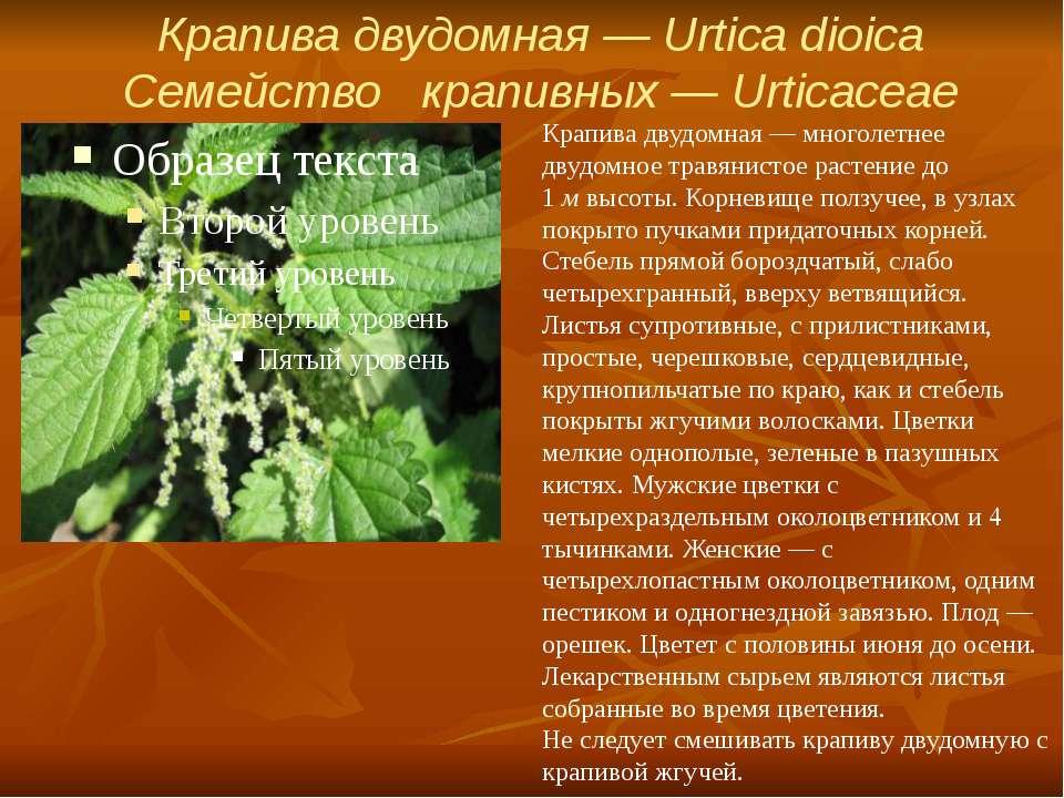 Крапива двудомная — Urtica dioica Семейство крапивных — Urticaceae Крапива ...