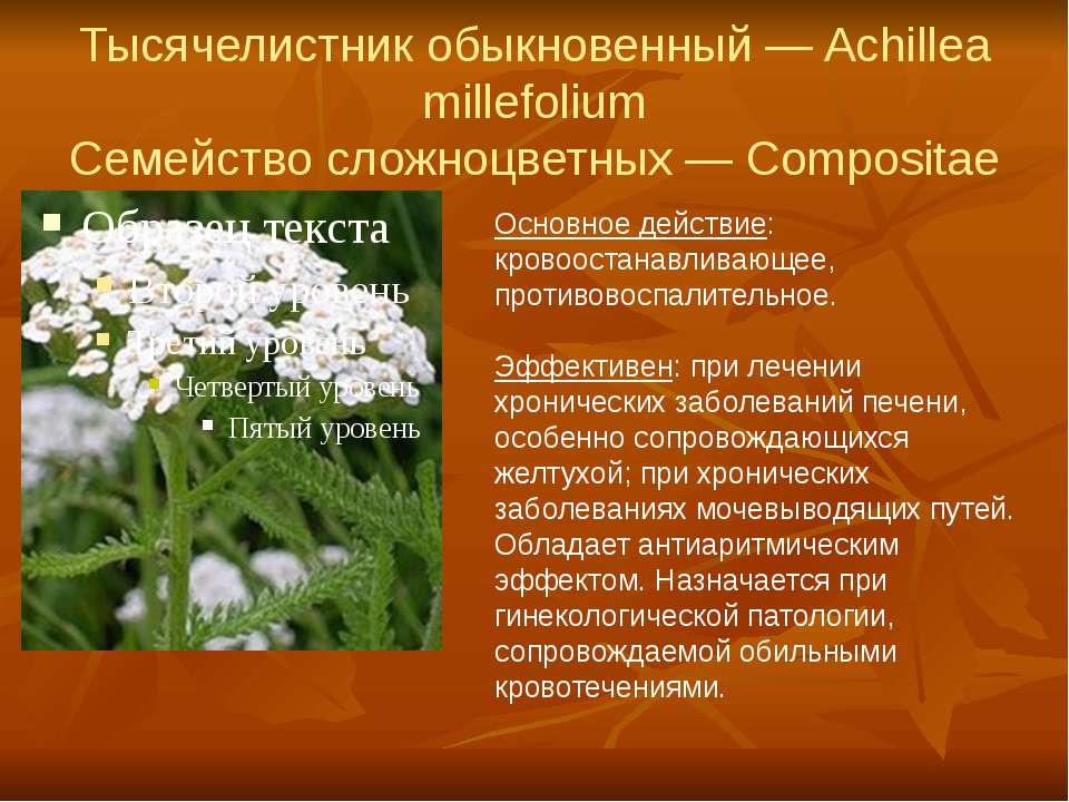Тысячелистник обыкновенный — Achillea millefolium Семейство сложноцветных — C...