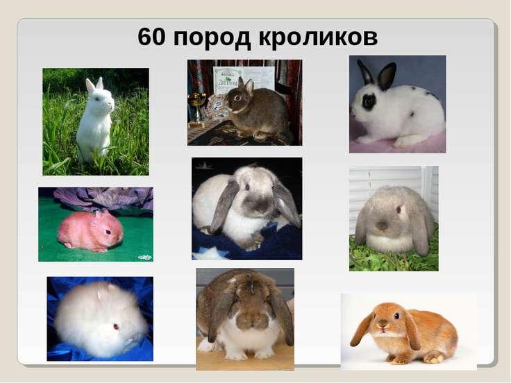 60 пород кроликов