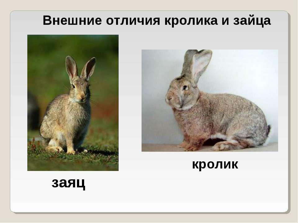 Внешние отличия кролика и зайца заяц кролик