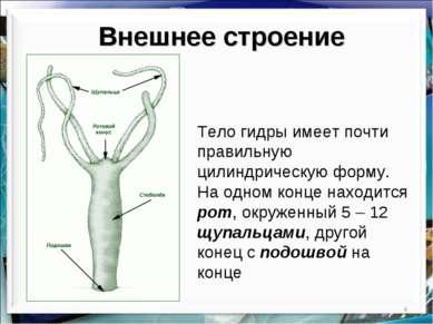 * Внешнее строение Тело гидры имеет почти правильную цилиндрическую форму. На...