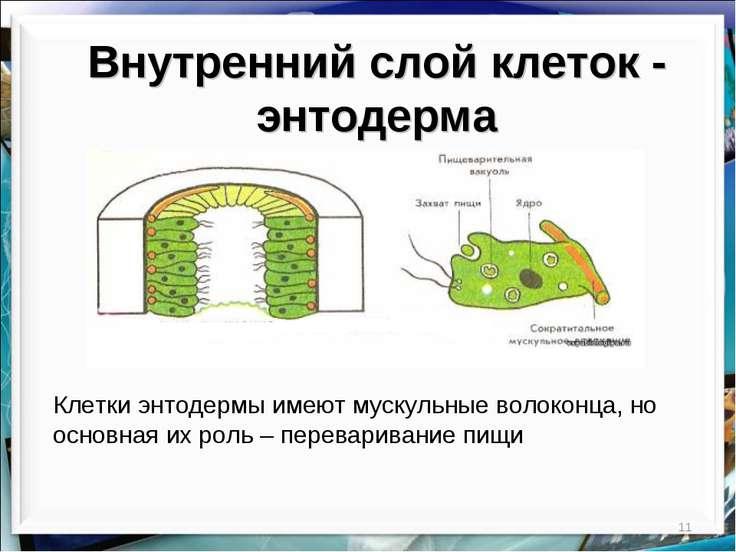 * Внутренний слой клеток - энтодерма Клетки энтодермы имеют мускульные волоко...
