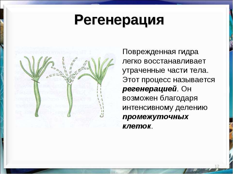 * Регенерация Поврежденная гидра легко восстанавливает утраченные части тела....