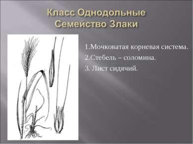 1.Мочковатая корневая система. 2.Стебель – соломина. 3. Лист сидячий.
