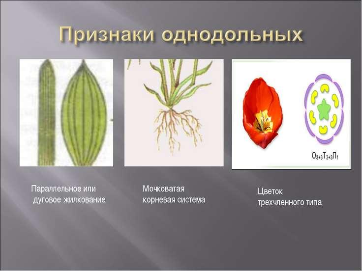 Параллельное или дуговое жилкование Мочковатая корневая система Цветок трехчл...