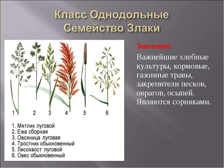 Значение. Важнейшие хлебные культуры, кормовые, газонные травы, закрепители п...