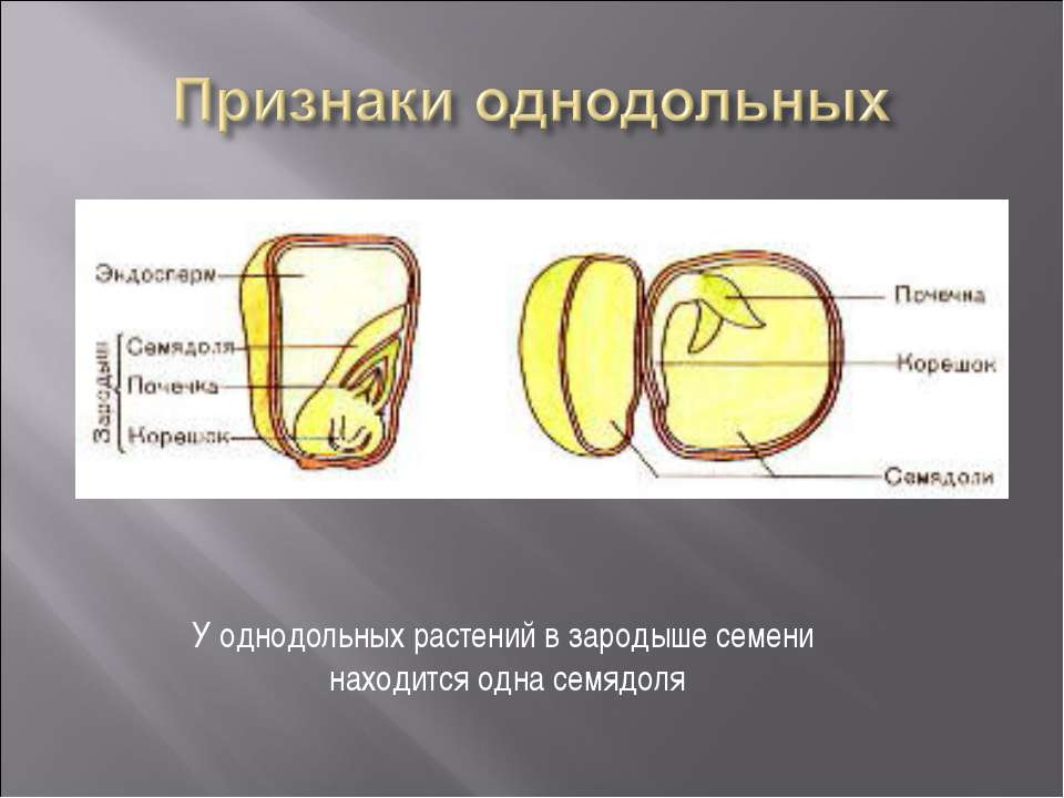 У однодольных растений в зародыше семени находится одна семядоля