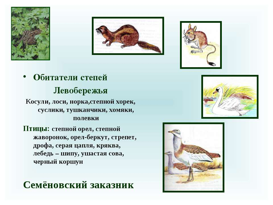 Обитатели степей Левобережья Косули, лоси, норка,степной хорек, суслики, тушк...