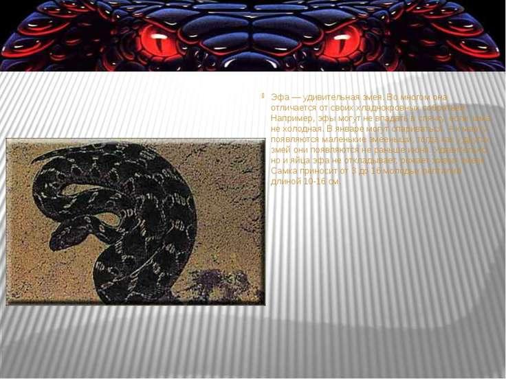 Эфа— удивительная змея. Вомногом она отличается отсвоих хладнокровных собр...