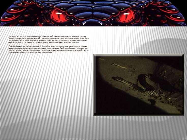 Несмотря нато, что эфа — одна изсамых ядовитых змей, она редко нападает на...