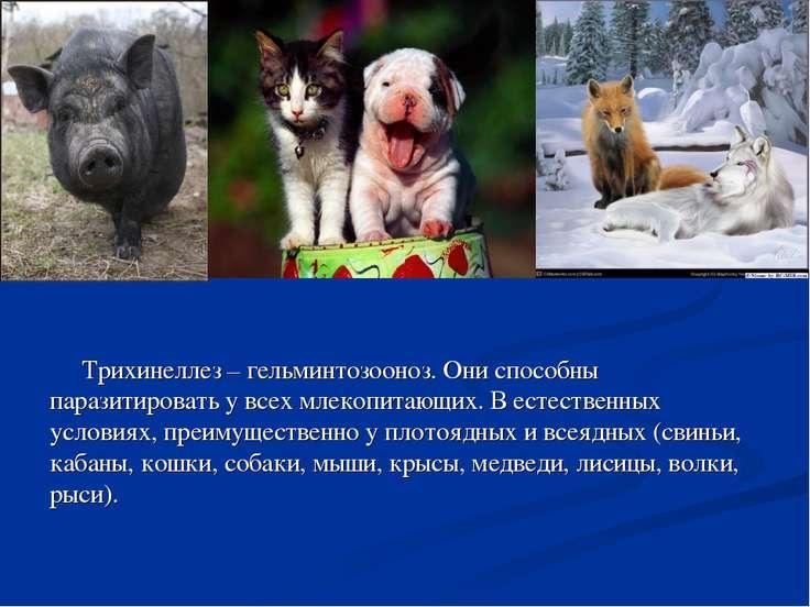 Трихинеллез – гельминтозооноз. Они способны паразитировать у всех млекопитающ...