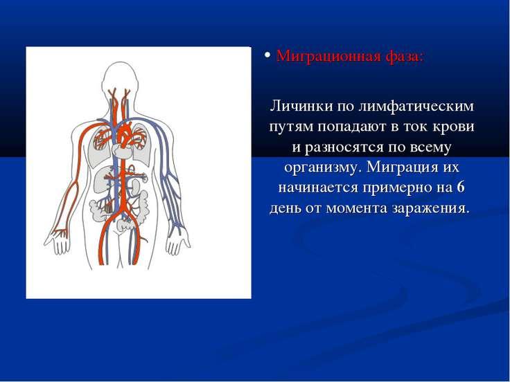 • Миграционная фаза: Личинки по лимфатическим путям попадают в ток крови и ра...