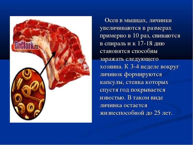 Осев в мышцах, личинки увеличиваются в размерах примерно в 10 раз, свиваются ...