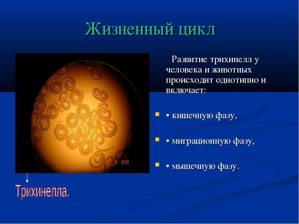 Жизненный цикл Развитие трихинелл у человека и животных происходит однотипно ...