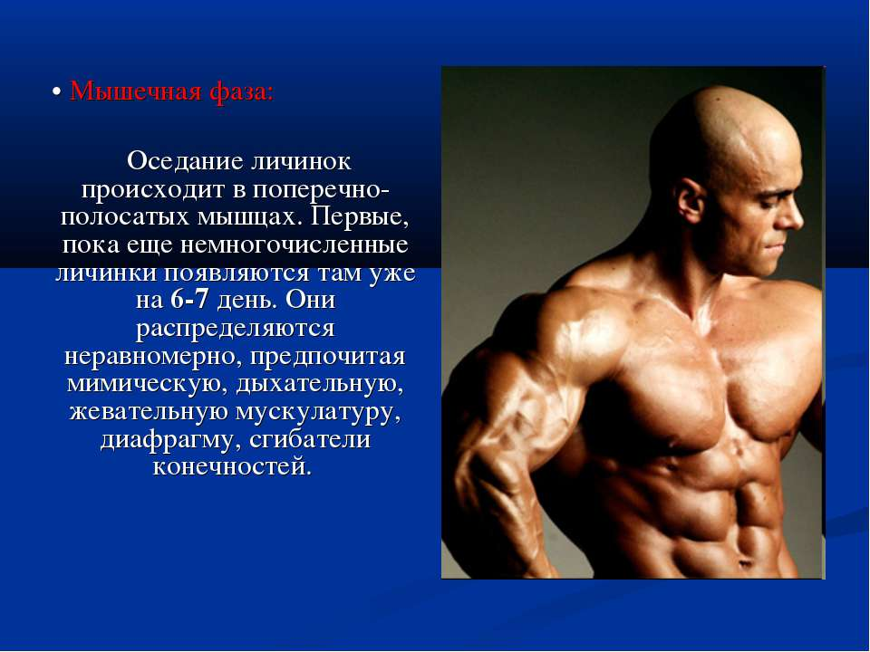 • Мышечная фаза: Оседание личинок происходит в поперечно-полосатых мышцах. Пе...